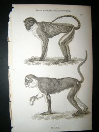 Shaw C1810 Antique Print. Spotted Or Diana Monkey & Mona